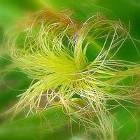 кукурузные рыльца - проверенное средство лечения простатита