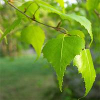 народное средство лечения простаты - листья березы